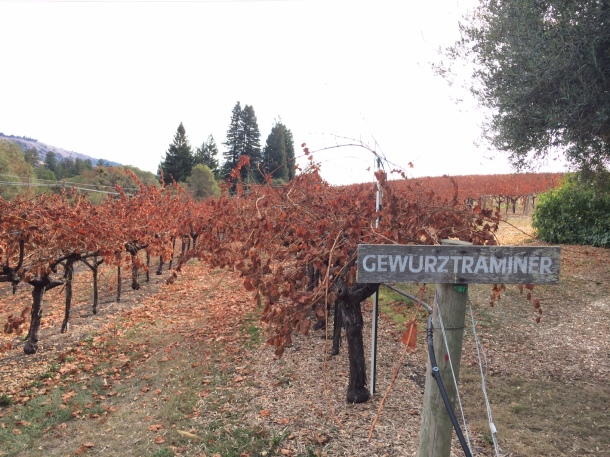 The Gewurz vines outside the Husch tasting room.
