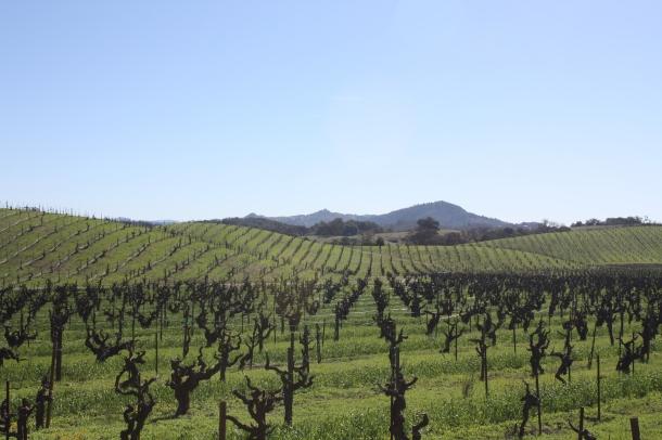Old Zinfandel vines of Lytton Springs
