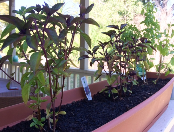 Left to right: Thai basil, purple basil, Genovese basil